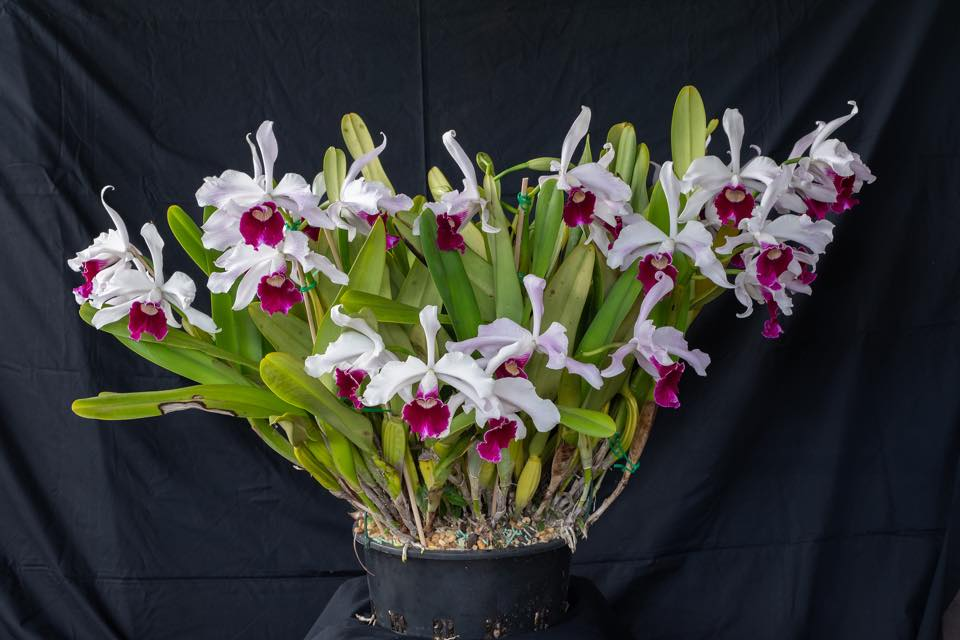 Culture de Cattleya purpurata chez William Dobson Laelia18