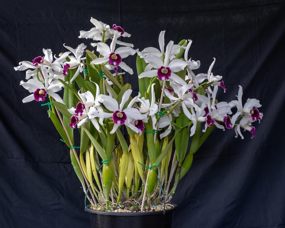 Culture de Cattleya purpurata chez William Dobson Laelia19