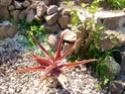 Aloé à reconnaitre 7 - Aloe vaombe Mlkjhg12