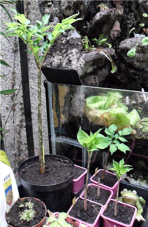 Amorphophallus Konjac et Bulbifer Amorph10