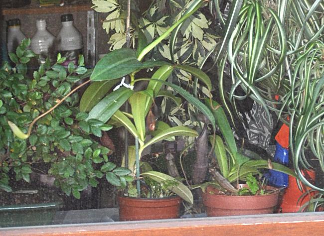Les plantes de la Belle Mère Carniv10