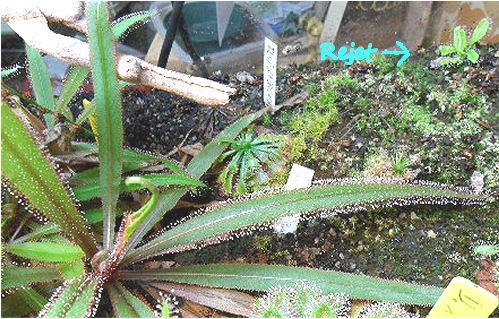 Mes Droseras Adelae en terrarium D_adel17