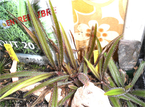 Mes Droseras Adelae en terrarium D_adel24