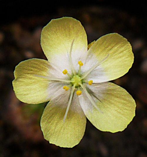 Mes Droseras pygmées [7] ...... (plantes de Michi Zehnder du 29 mai 2011 à Fribourg) D_citr12