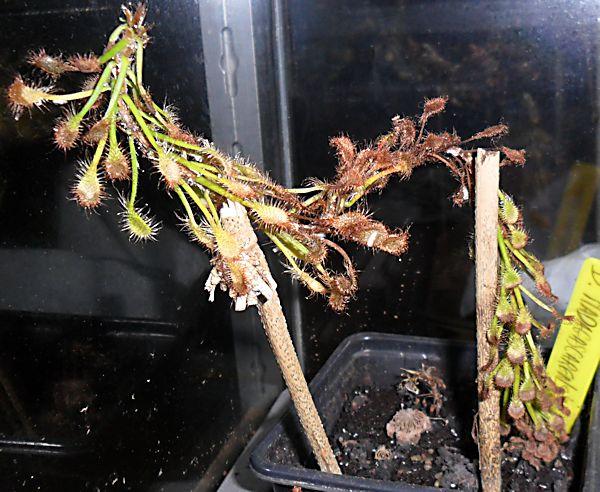 Mon Drosera Madagascariensis  D_mada13