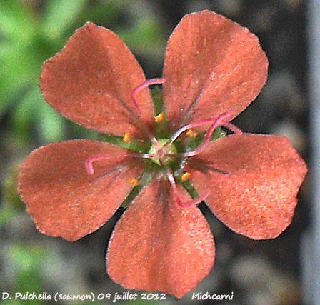 Quelques fleurs de droseras (été 2012)  D_pulc12