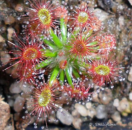 Mes Droseras pygmées [7] ...... (plantes de Michi Zehnder du 29 mai 2011 à Fribourg) D_stel10