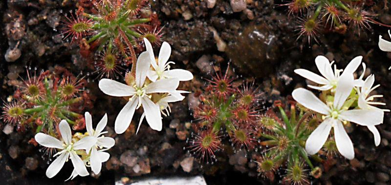 Mes Droseras pygmées [7] ...... (plantes de Michi Zehnder du 29 mai 2011 à Fribourg) D_stel11