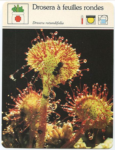 Fiche Drosera à feuilles rondes  Droser29