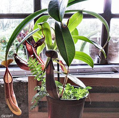 Les plantes de la Belle Mère Nep_210