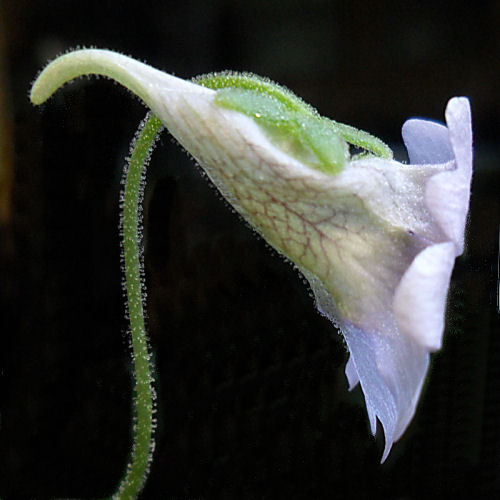 Fleur de Pinguicula Caerulea et Gracilis (mai 2012) P_caer11