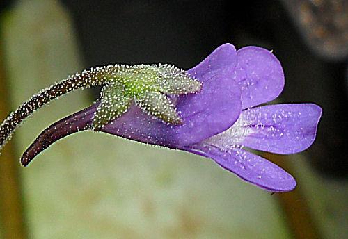 Fleur de Pinguicula vulgaris ou Grassette commune P_plei12
