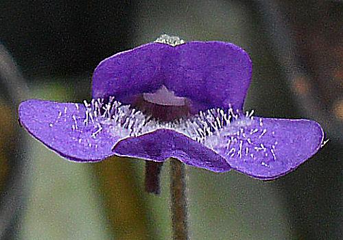 Fleur de Pinguicula vulgaris ou Grassette commune P_plei14