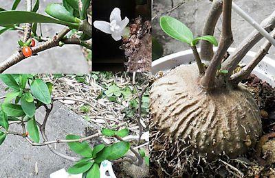 [Fiche culture] Hydnophytum formicarum forme côtelée Pour_f10
