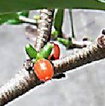 [Fiche culture] Hydnophytum formicarum forme côtelée Pour_f13