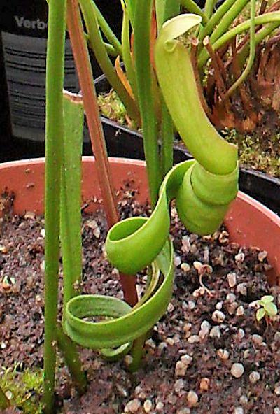 Sarracenia Alata (déformation ou pas) S_alat11