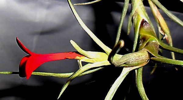 Tillandsia Albertiana en fleur T_albe10