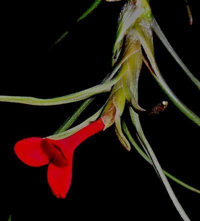 Tillandsia Albertiana en fleur T_albe12