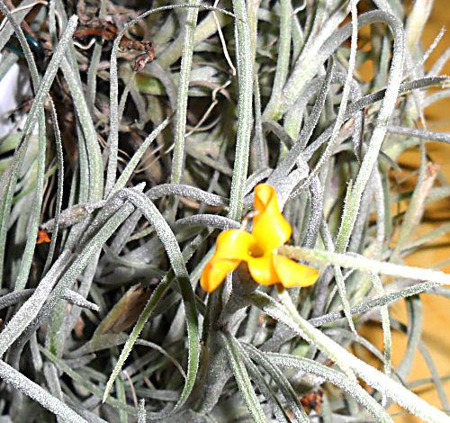 Fleurs de Tillandsia Crocata T_croc11
