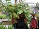 Floralux à Dadizèle en Flandre (Belgique) Nep_ur10