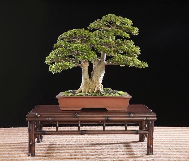 Neea buxifolia from Puerto Rico 0610