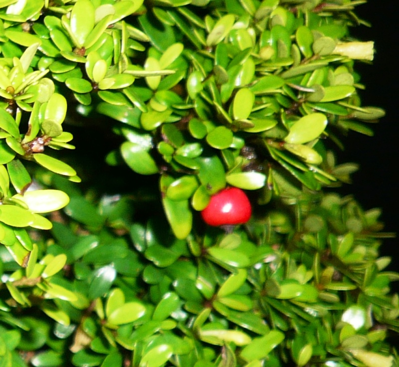 Neea buxifolia from Puerto Rico Buah10