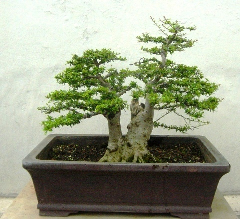 Neea buxifolia from Puerto Rico Neea_110