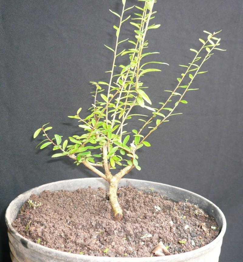 Neea buxifolia from Puerto Rico P1000810
