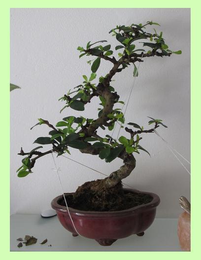 Se rapprocher de la nature... par la culture des bonsaïs ! Carmon10