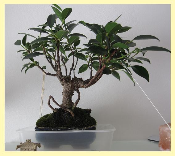 Se rapprocher de la nature... par la culture des bonsaïs ! Ficus10