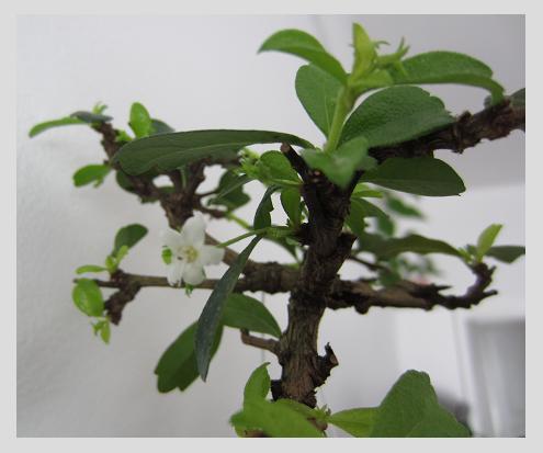 Se rapprocher de la nature... par la culture des bonsaïs ! Fleurc10