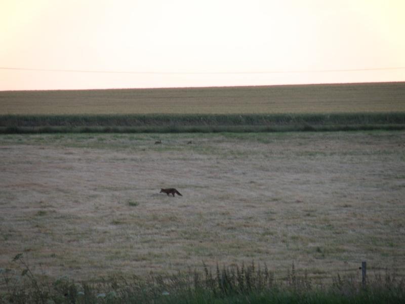 Animaux chassant au crépuscule - 2 juin 2011 Grandv16