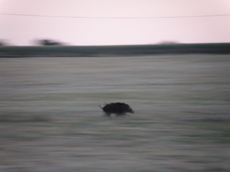 Animaux chassant au crépuscule - 2 juin 2011 Grandv22