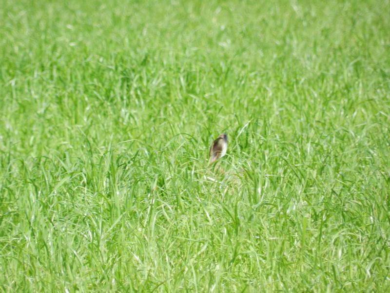 La famille lièvre en goguette (fin mai 2012) Legra101