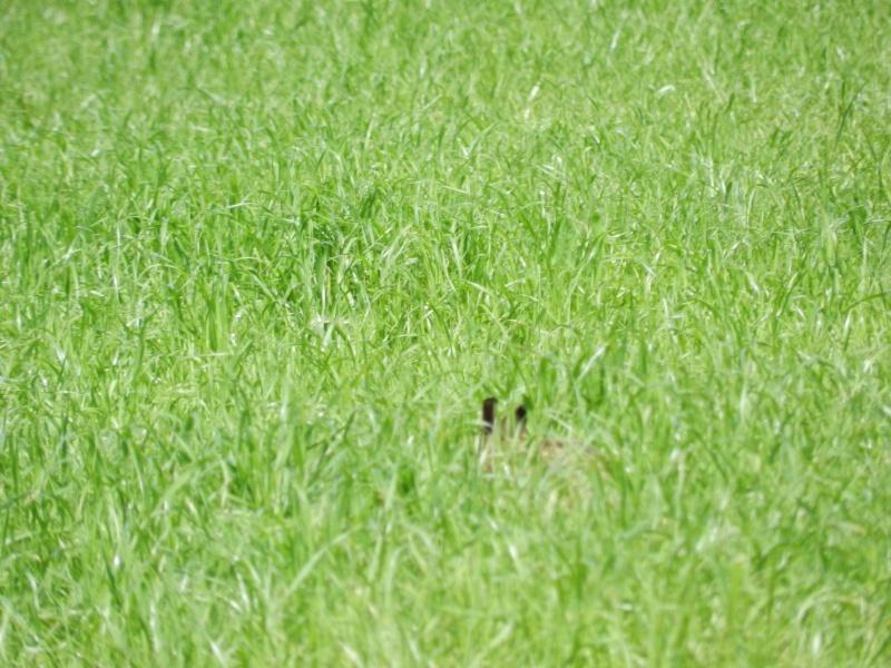 La famille lièvre en goguette (fin mai 2012) Legra102