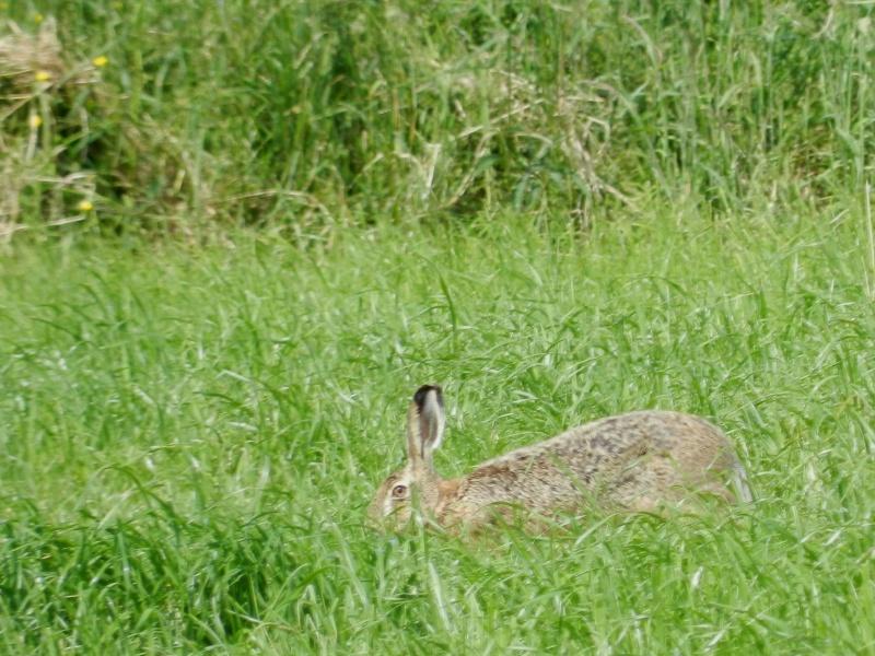 La famille lièvre en goguette (fin mai 2012) Legra104