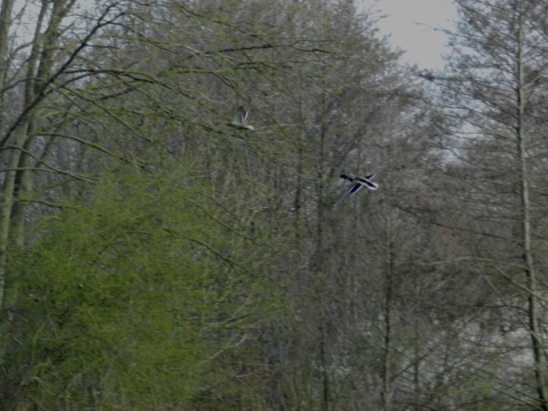 Attention au Roi des Aulnes (mars 2012) Legran44