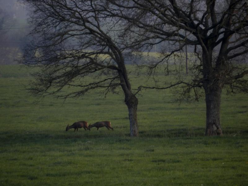 Accueillis par des chevreuils (6 avril 2012) Legran65