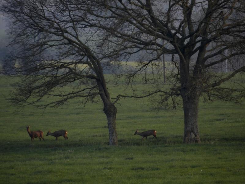 Accueillis par des chevreuils (6 avril 2012) Legran66
