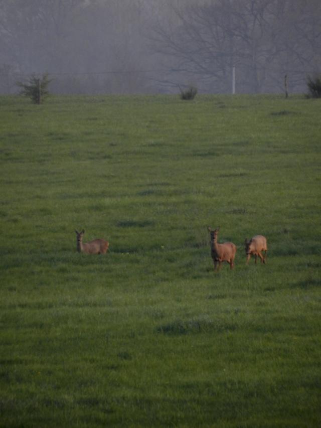 Accueillis par des chevreuils (6 avril 2012) Legran68