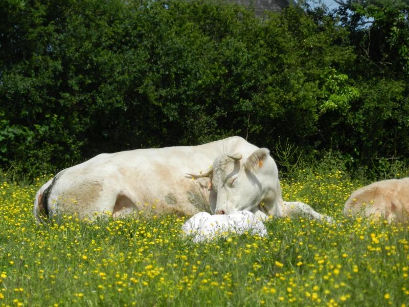 La famille lièvre en goguette (fin mai 2012) Legran95