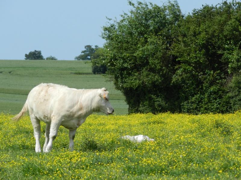 La famille lièvre en goguette (fin mai 2012) Legran96