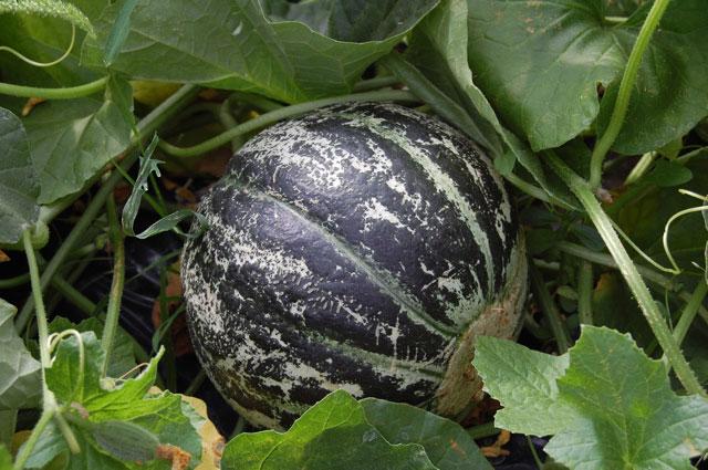 Les 2 Blainville Melon-10
