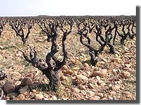 Vauvert dans le Gard Vignob10