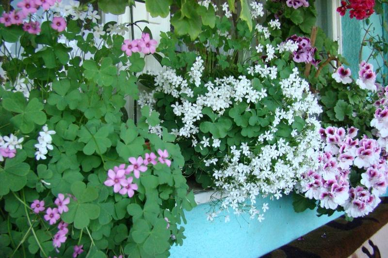 Flori de apartament-Îngrijire,înmulţire şi exponate 1110