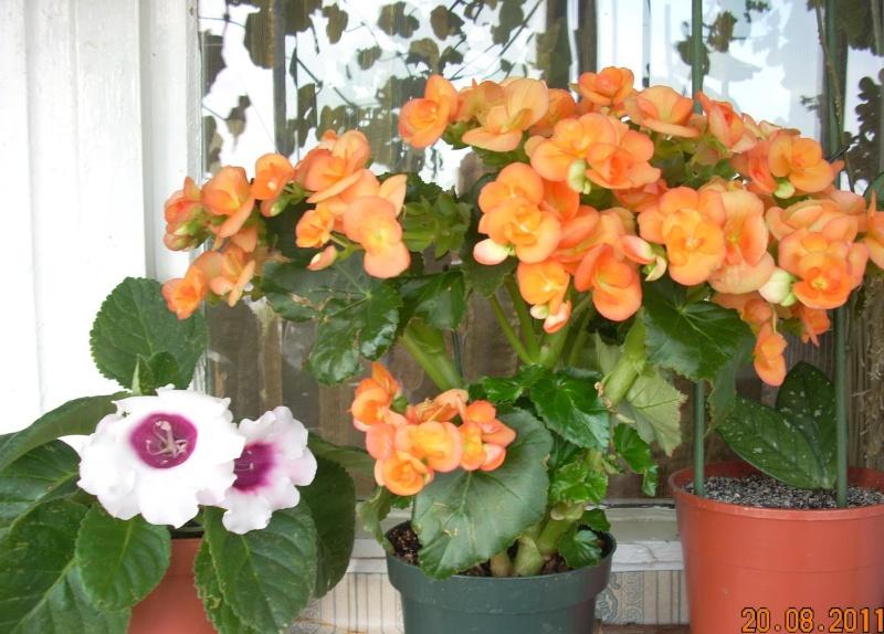 Flori de apartament-Îngrijire,înmulţire şi exponate 29160510