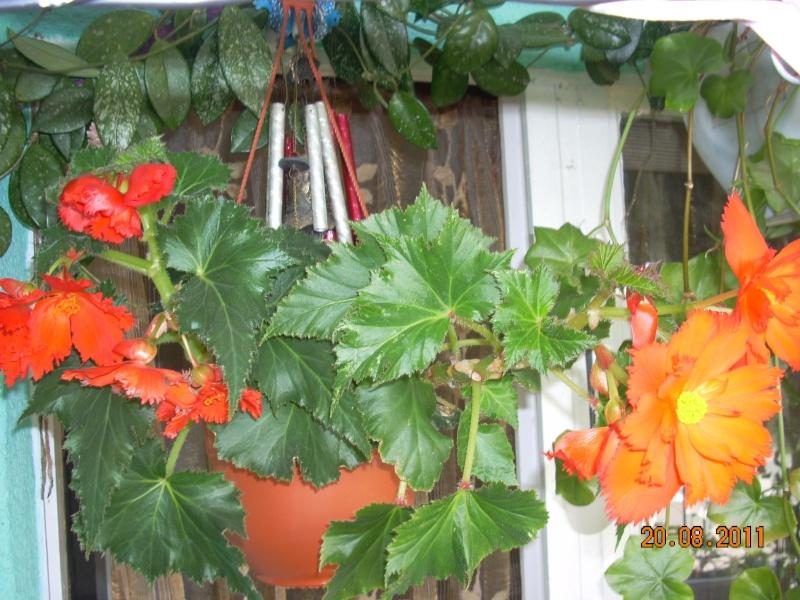 Flori de apartament-Îngrijire,înmulţire şi exponate 29165610