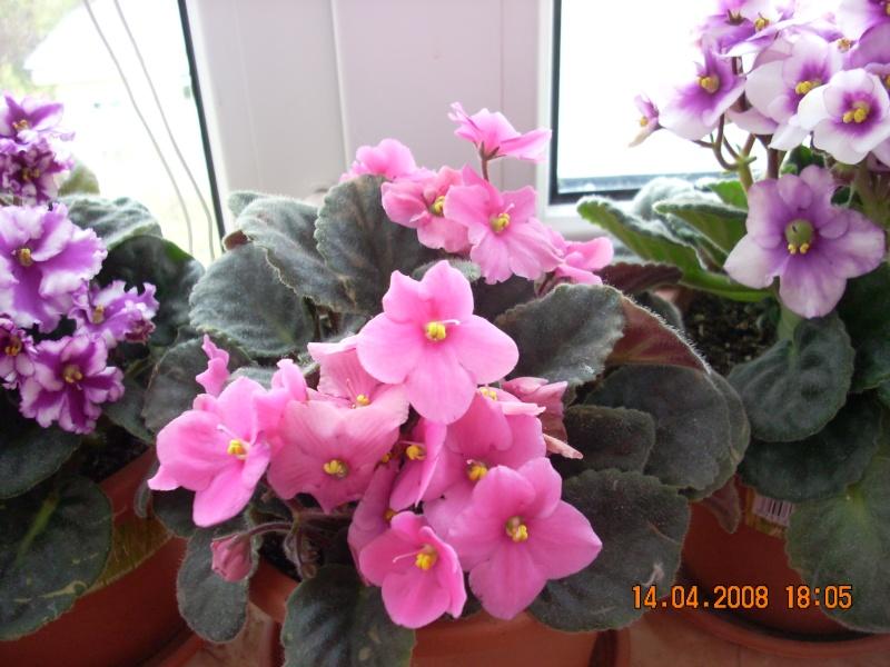 Flori de apartament-Îngrijire,înmulţire şi exponate 2_10