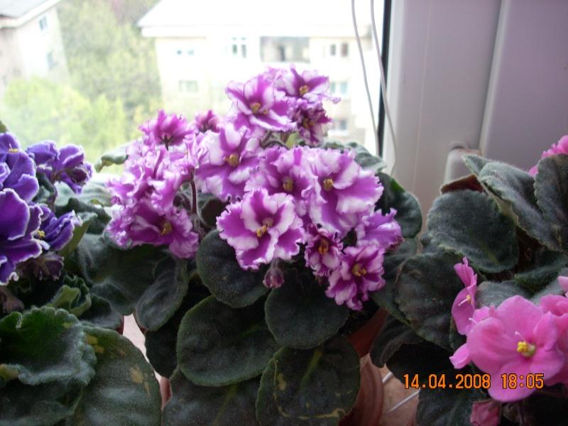 Flori de apartament-Îngrijire,înmulţire şi exponate 3_10