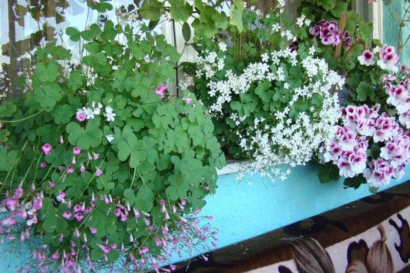 Flori de apartament-Îngrijire,înmulţire şi exponate 512
